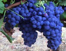 Il vino Nero d'Avola: descrizione, caratteristiche e abbinamento ideale